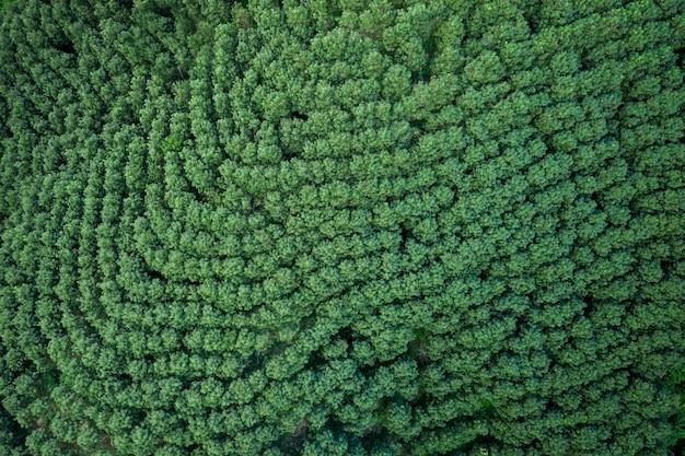 Grüner tee des landwirtschaftlichen bereichs auf bergchiang rai thailand