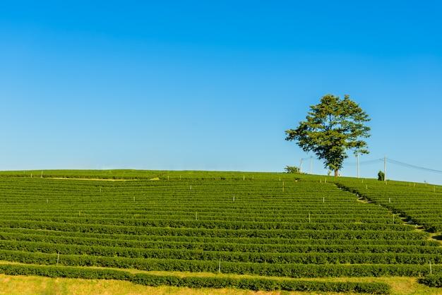 Grüner tee farm