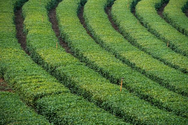 Grüner tee garten
