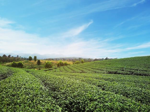 Grüner teefeld mit blauem himmel bei sonnenaufgang im norden von thailand. frühlingslandschaft und hintergrund