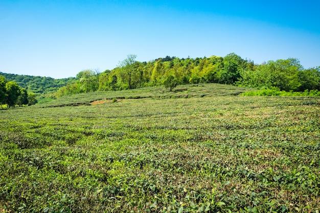 Grüner teegarten, hügelanbau