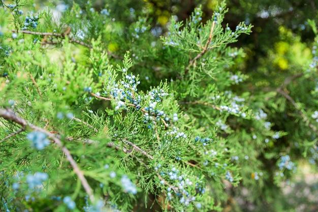 Grüner thuja- oder wacholderbuschbaumaste wis beerenhintergrundabschluß oben