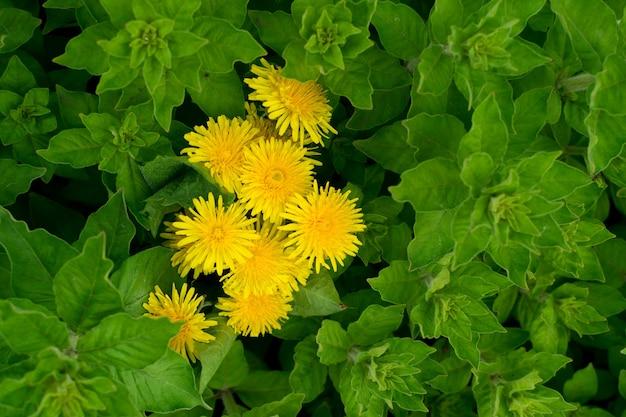 Grüner üppiger blatthintergrund mit gelben löwenzahnblumen, pflanzenmuster der natürlichen blätter oder textur draufsicht