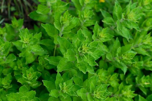 Grüner üppiger blatthintergrund, natürliches blattpflanzenmuster oder textur