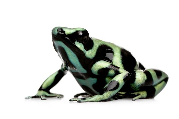Grüner und schwarzer pfeilgiftfrosch - dendrobates auratus auf einem weißen isolierten