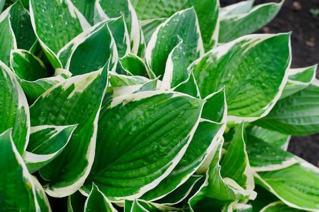 Grüner und weißer üppiger blattbeschaffenheitshintergrund. natürliches blattmuster der hosta-pflanze mit tautropfen