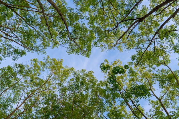 Grüner wald, hevea-brasiliensis baumspitzenblatt im himmelhintergrund von unterhalb genommen.