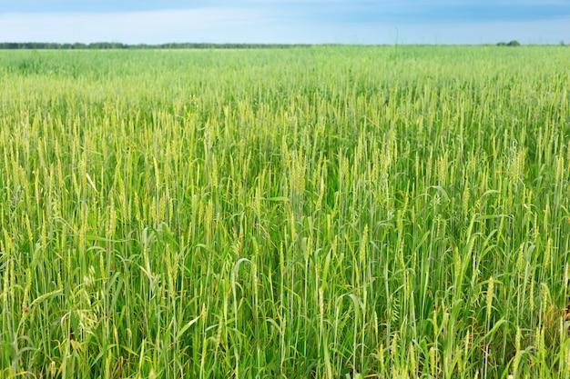 Grüner weizen auf feld. großes landwirtschaftliches feld. reichhaltiges erntekonzept.