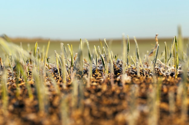 Grüner weizen bedeckt mit frostblauem himmel, landwirtschaftliches feld mit einer großen palette