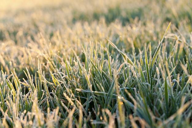 Grüner weizen, frost - fotografierte nahaufnahme des jungen weizens der grünen pflanze am morgen nach einem frost, defokussiert