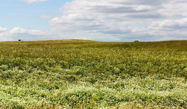 Grüner weizen wächst auf einem landwirtschaftlichen feld und kamillenblüten und anderen unkräutern