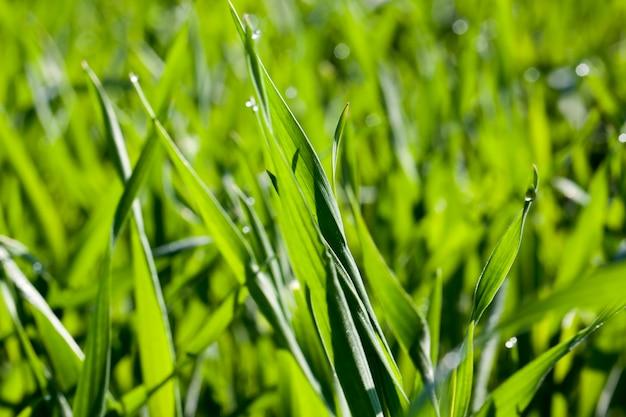 Grüner weizen