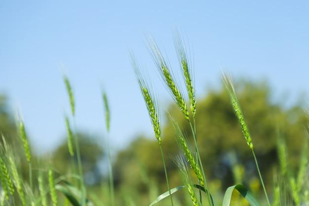 Grüner weizenbauernhof indien