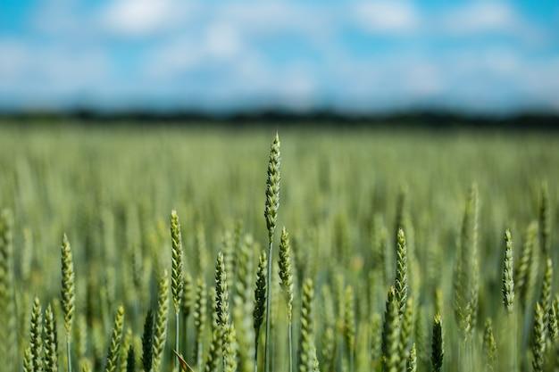 Grüner weizenkopf im kultivierten landwirtschaftlichen feld, früher hirsch