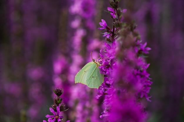 Grüner zitronengrasschmetterling sitzt auf einer lila blume. blumenwiese, natur und insekten.