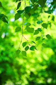 Grüner zweig der birke
