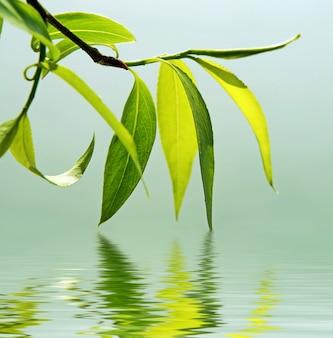 Grüner zweig einer weide reflektierte sich im wasser