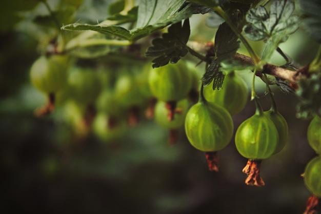 Grüner zweig mit vier roten reifen frischen stachelbeerbeeren mit grünen blättern ist auf einem schönen unscharfen hintergrund herein. ein garten im sommer. selektiver fokus.