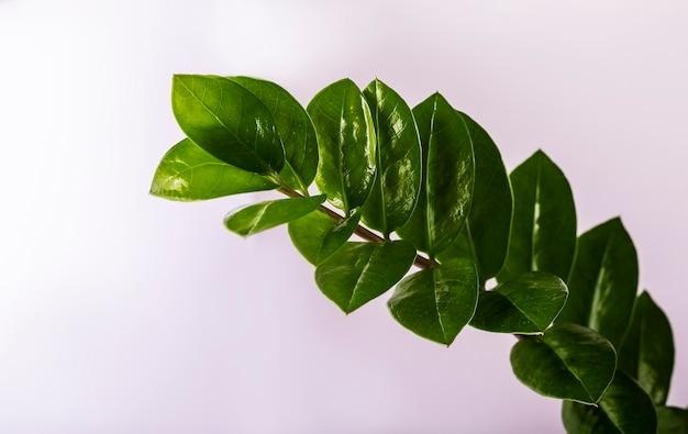 Grüner zweig von zamiokulkas