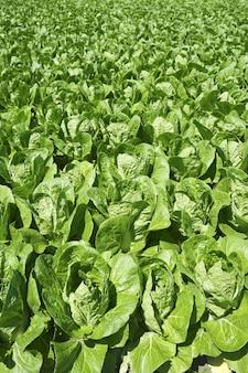 Grünes ackerland des gemüsefeldes des kohls im frühjahr