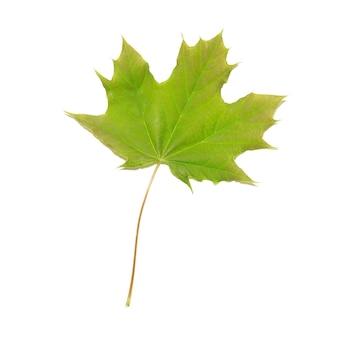 Grünes ahornblatt isoliert.