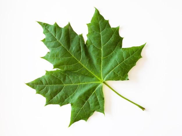 Grünes ahornblatt lokalisiert auf weißer oberfläche