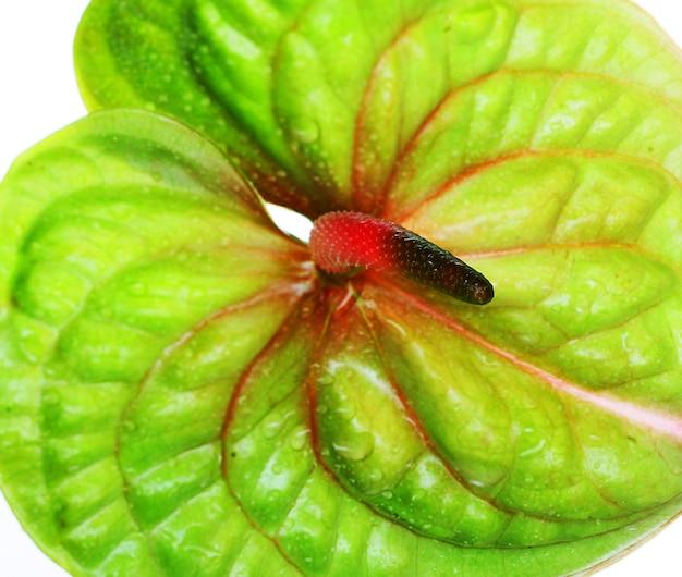 Grünes anthurium. auf weiß isoliert.