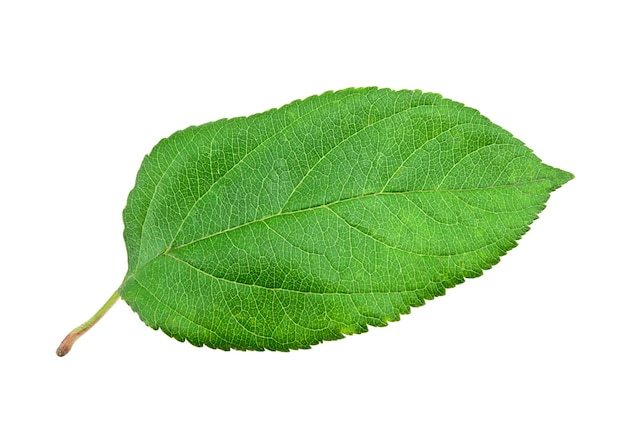 Grünes apfelblatt auf weißem hintergrund