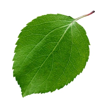 Grünes apfelblatt lokalisiert auf weißem hintergrund. ein frisches junges blatt.