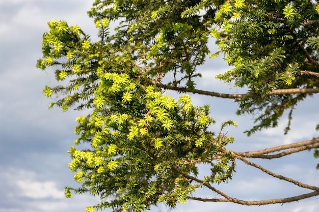 Grünes araukarien auf himmel im sommer