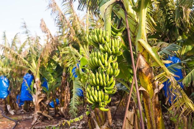 Grünes bananenbündel auf der bananenplantage.