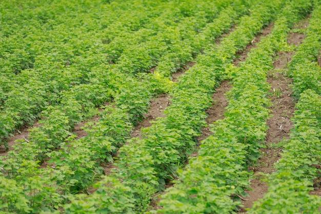 Grünes baumwollfeld in indien Premium Fotos