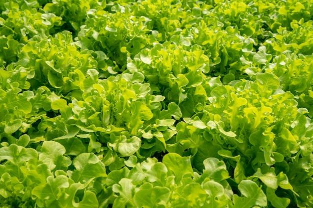 Grünes bio-salatgemüse von einer indoor-gemüsefarm, die temperaturgesteuert ist.