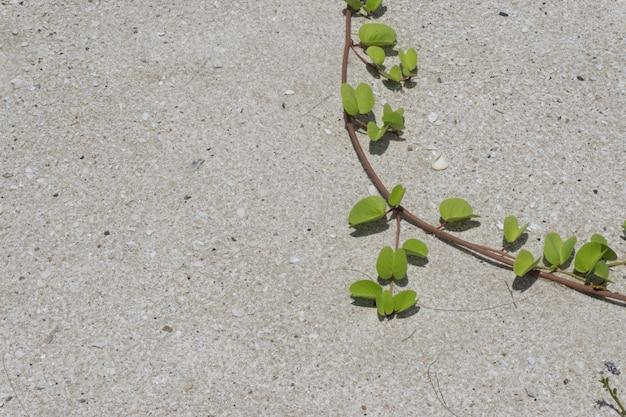 Grünes blatt auf dem sand. rebstock, der im sand wächst.