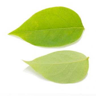 Grünes blatt auf einem weißen hintergrund