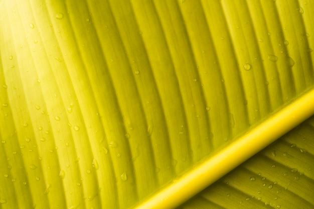Grünes blatt der frischen bananenfrucht