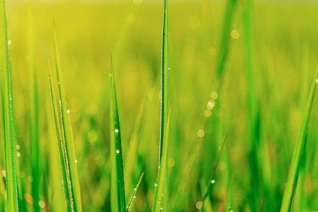 Grünes blatt der reispflanze mit blasentropfen auf blättern des morgenlichtes