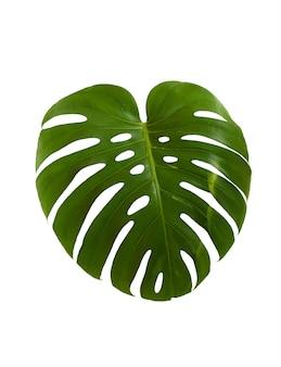 Grünes blatt der tropischen monsterpflanze lokalisiert auf weißer wand