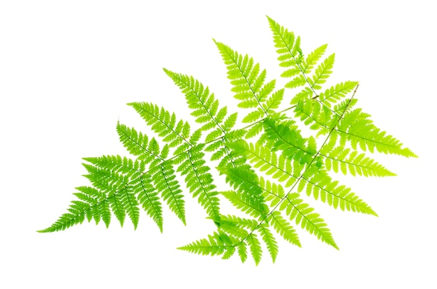 Grünes blatt des farns auf weißem hintergrund.