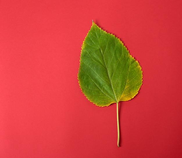 Grünes blatt einer maulbeere auf einem roten hintergrund