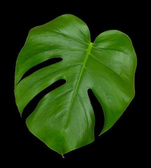Grünes blatt einer tropischen monsterpflanze lokalisiert auf einer schwarzen wand