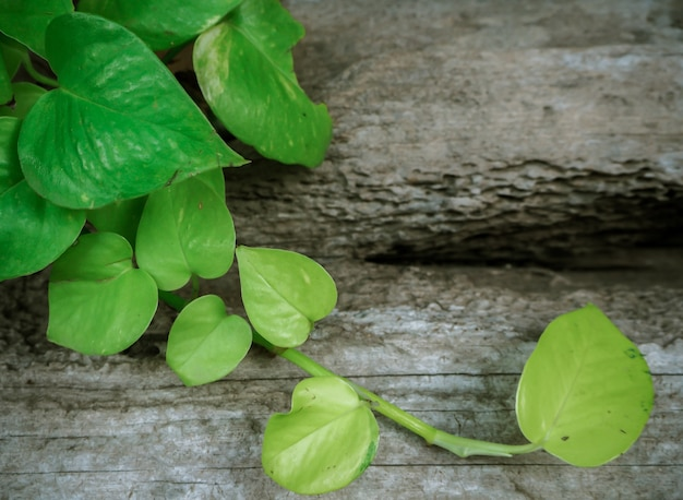 Grünes blatt herz geformt und alten holz hintergrund golden pothos, epipremnum aureum