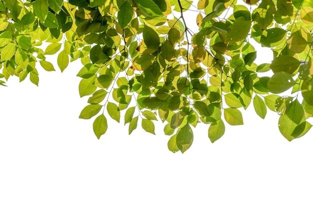 Grünes blatt isoliert auf weißem hintergrund