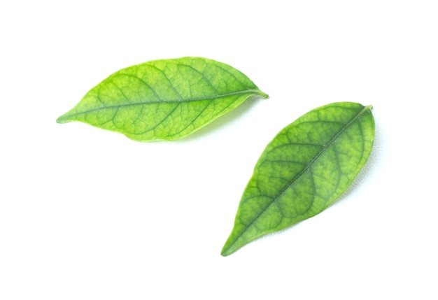 Grünes blatt lokalisiert auf dem weißen hintergrund