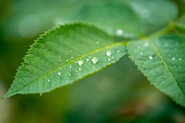 Grünes blatt mit wassertropfen. natur- und grünpflanzenkonzept. nahansicht.