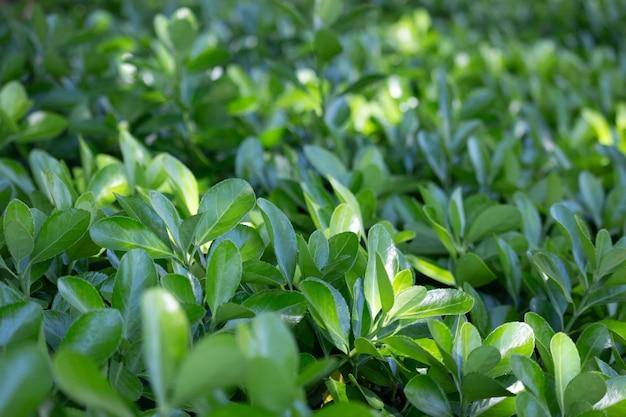 Grünes blatt natürlicher grüner hintergrund der blätter, die auf büschen im park wachsen, sommer