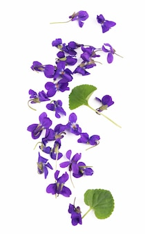 Grünes blatt und blumen von holzviolett viola odorata lokalisiert auf weißem hintergrund. heil- und gartenpflanze