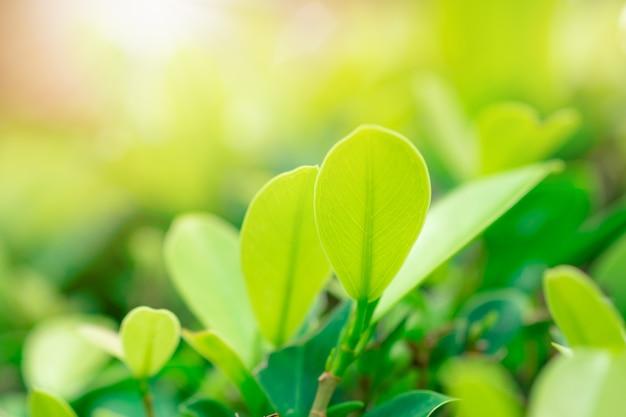 Grünes blatt und sonnenlicht der nahaufnahme im garten auf unscharfem hintergrund.