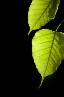 Grünes bo-blatt mit sonnenlicht am morgen