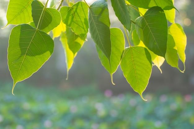 Grünes bo-blatt mit sonnenlicht morgens, bo-baum, der buddhismus in thailand darstellt.